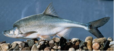 Endangered Humpback Chub